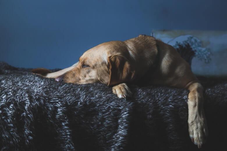 hond slapen